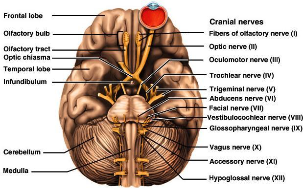 The Brain Chapter 14. Meninges, ventricles, cerebrospinal fluid ...