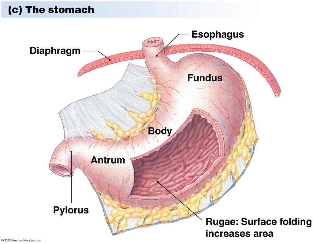 The Digestive System. What is the advantage of a one-way gut? If you ...
