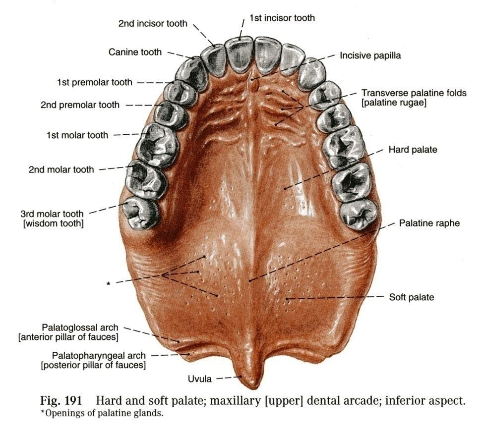 ORAL CAVITY, ESOPHAGUS AND STOMACH - PDF