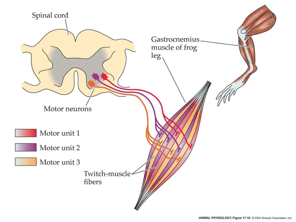 The organization of skeletal muscles. Excitation contraction ...