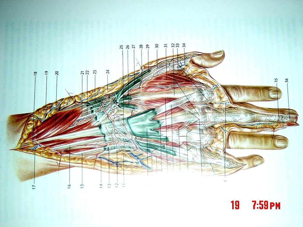 Viorel Nacu. The clinical anatomy of the Hand - PDF