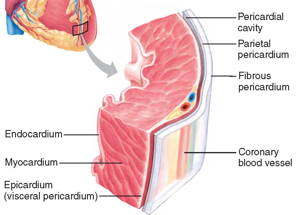 The Circulatory System. The Heart, Blood Vessels, Blood Types - PDF