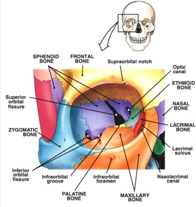 The Axial Skeleton Hyoid Bone Lecture Overview Marieb S Human