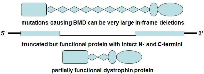 I. Becker muscular dystrophy (BMD) In-frame deletion of a large region of the spectrin-like repeats, as in one form of BMD (shown by the large white rectangle) shortens the molecule but retains the