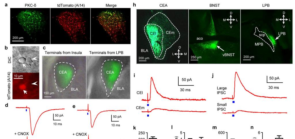 Supplementary Figure 8 Monosynaptic inputs and outputs of CEl PKC-δ + neurons a.