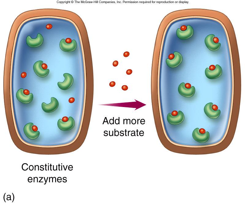 Constitutive enzymes are present in