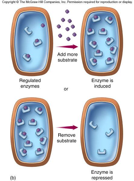 enzymes are either induced or repressed.