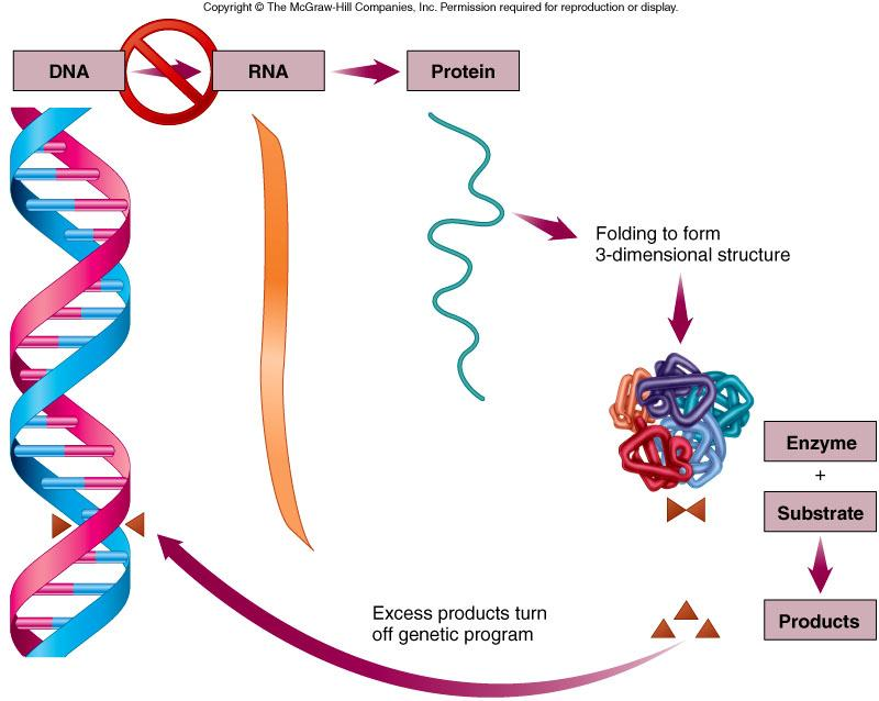 Repression is when proteins can stop the expression of genes that encode for enzymes,