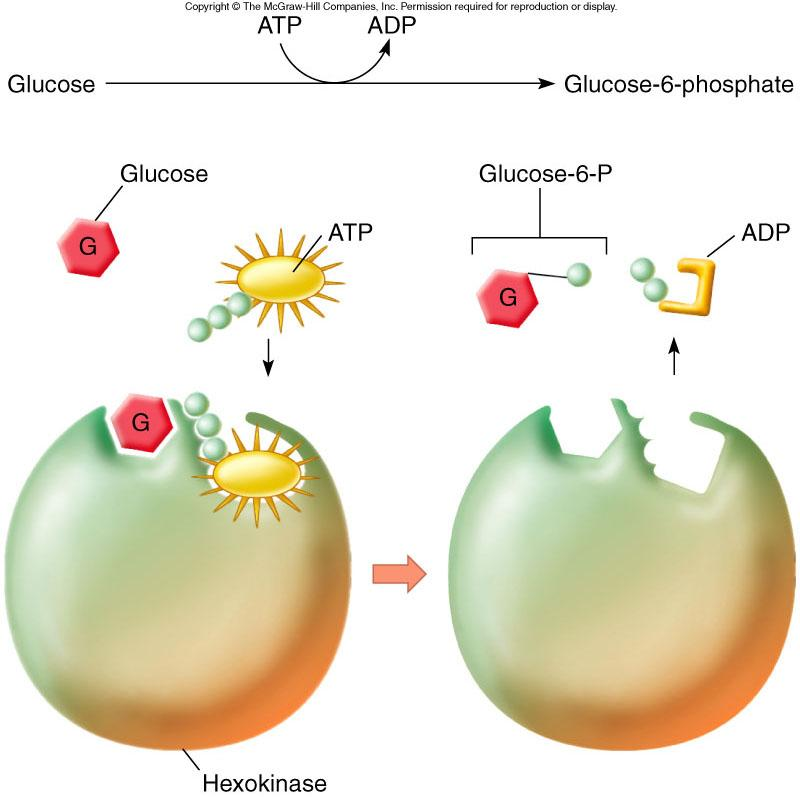 ATP can be used to phosphorylate an organic molecule such as glucose during catabolism,