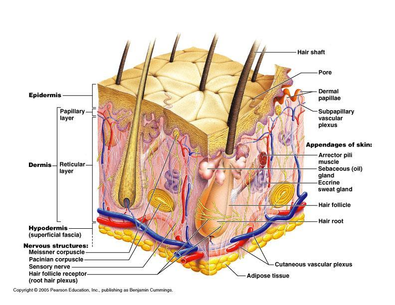 The Integumentary System - PDF