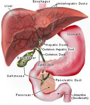 2 Figure 1. Liver Blood Flow A large portion of the output of the heart (about one-third) flows to the digestive system.