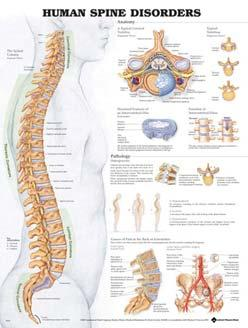 Spinal Nerves 026569 Torso and Extremities - set of 2 charts Clinical