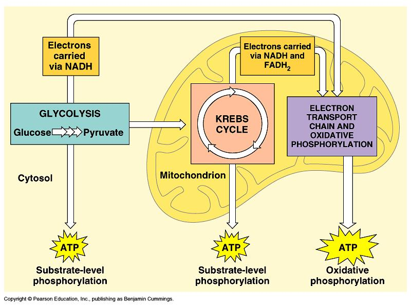 9.1 CHEMICAL PATHWAYS The first step to breaking down food into energy is called Glycolysis If oxygen is present, glycolysis will