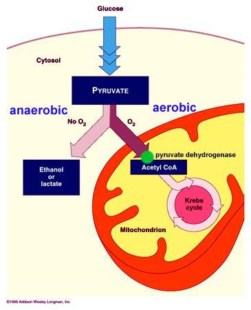 9.2 THE KREBS AND ELECTRON TRANSPORT Cellular respiration that requires oxygen is called Aerobic In the presence