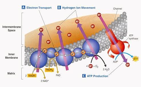9.2 THE KREBS AND ELECTRON TRANSPORT The electron transport chain
