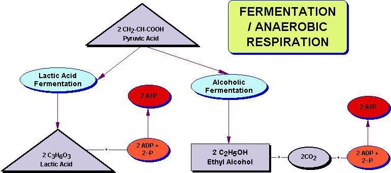 9.2 CHEMICAL PATHWAYS Fermentation releases energy from food molecules by producing ATP in the absence of O2 Anaerobic means
