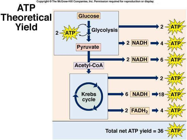 9.2 THE KREBS AND ELECTRON TRANSPORT Glycolysis creates 2 ATP