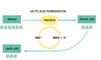 acid. NADH is oxidized to NAD+