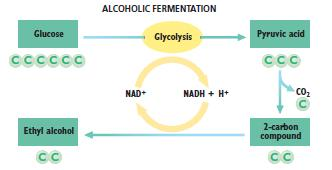 ALCOHOLIC FERMENTATION After glycolysis, requires 2 steps: CO2 is removed from pyruvic, leaving a