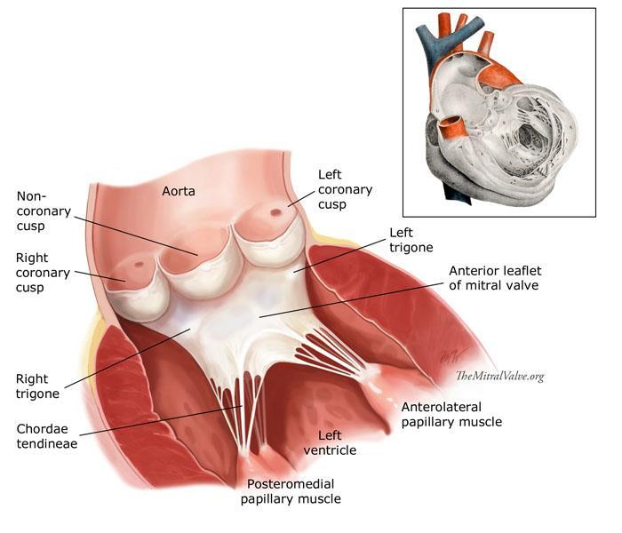 Anatomy lab -1- Imp note: papillary muscle Trabeculae Carneae ...