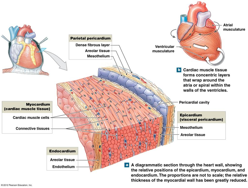 The Heart. PowerPoint Lecture Presentations prepared by Jason LaPres ...