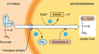 STEP TWO: PYRUVATE OXIDATION The following is the overall equation for pyruvate oxidation: 2 pyruvate + 2NAD + + 2CoA 2acetyl-CoA + 2NADH +