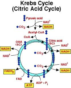 STEP THREE: KREBS CYCLE By the end of the Krebs cycle, the original glucose molecule is entirely consumed!