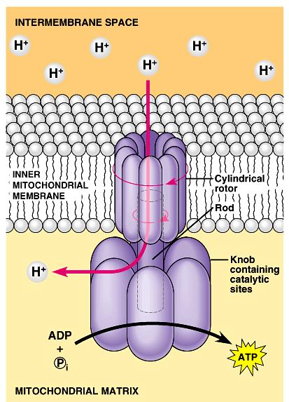A protein complex, ATP synthase, in the cristae actually makes ATP from ADP and P i.