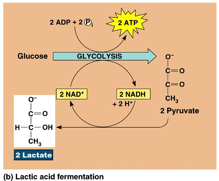 During lactic acid fermentation, pyruvate is reduced directly by NADH to form lactate (lactic acid). Lactic acid fermentation by some fungi and bacteria is used to make cheese and yogurt.