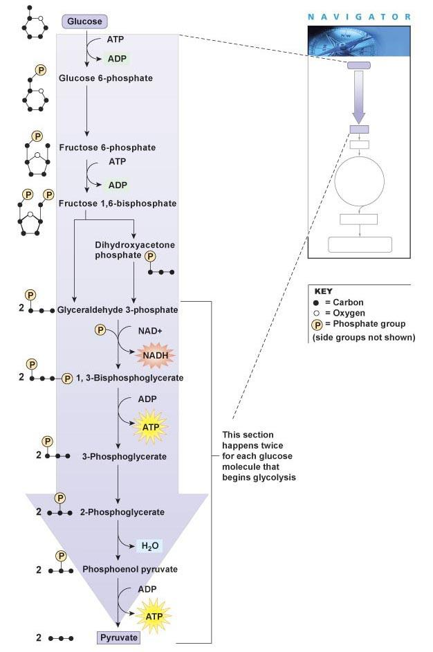 Glycolysis 1. Energy investment steps: input 2 ATP Summary of Glycolysis Glucose + 2 ADP + 2 NAD + 2 Pyruvate + 2 ATP + 2 NADH 2.