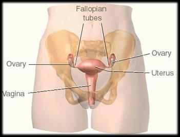 Female reproductive anatomy Ovaries produce estrogen, progesterone, and are site of