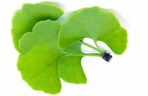 Gingko Biloba and Dementia Historically, few herbs have been as widely researched and used therapeutically as ginkgo biloba.