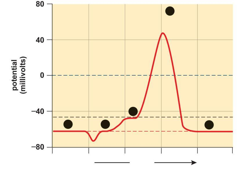 Electrical Events During an Action Potential 4 action potential resting potential threshold 1 2 3 less more