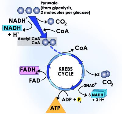 THE KREBS CYCLE 5 The Krebs cycle is a biochemical pathway that breaks down acetyl CoA, producing CO 2, hydrogen atoms, and ATP.