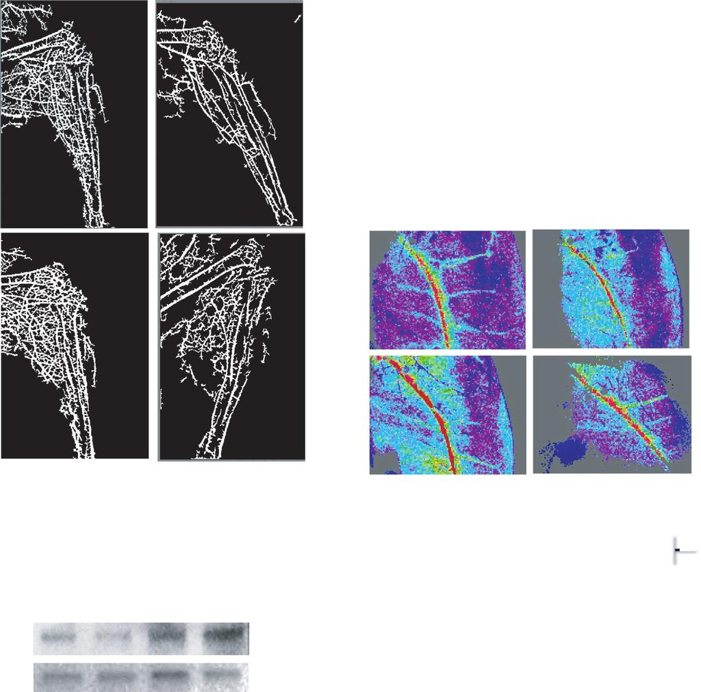 A. Majumder et al. H2S Treats HHcy-Mediated Neoangiogenic Defects S+ + ( r e la t iv e ) p - e N O S /e N O S S + S 1.